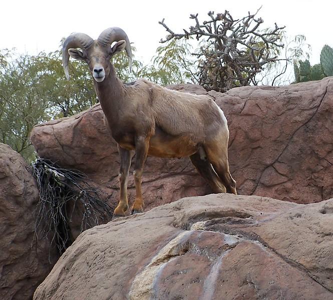 Az Trip - Desert Big Horn036