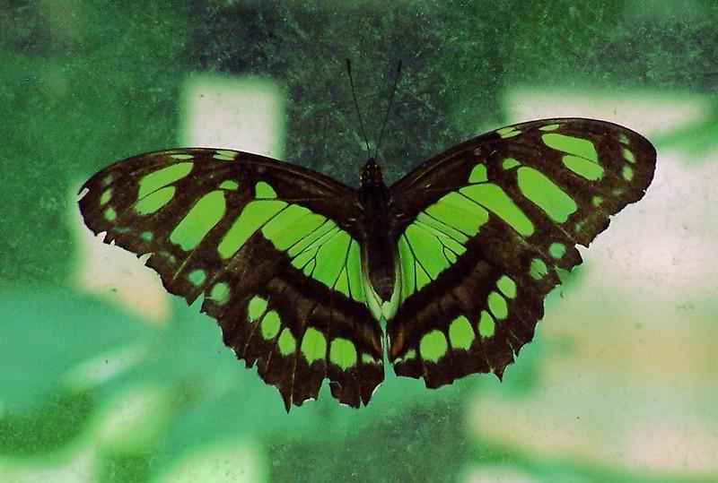 Az Trip - green butterfly