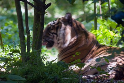 Tiger, Panthera Tigris Sumatrae, Zoo, Atlanta, Georgia, USA