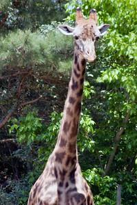Giraffe, Zoo, Atlanta, Georgia, USA