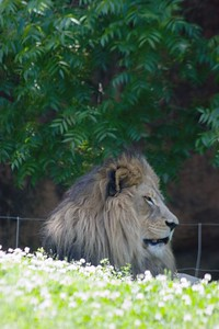African Lion, Panthera Leo Krugeri, Male, Zoo, Atlanta, Georgia, USA