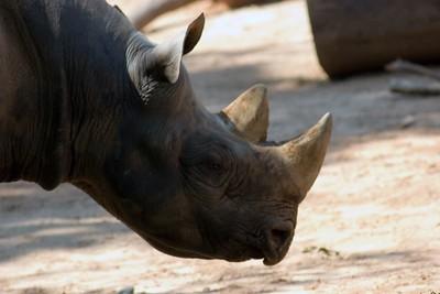 African Black Rhino, Diceros Bicornis Michaeli, Zoo, Atlanta, Georgia, USA