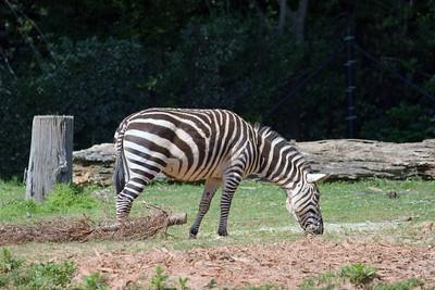 Zebra, Zoo, Atlanta, Georgia, USA