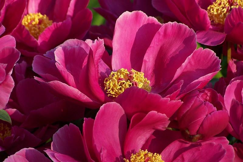 pink beauties 2