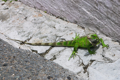 So what, I have to see a cool iguana every time I go to St. Thomas?