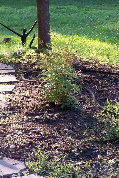 7-05 new astilbe plants