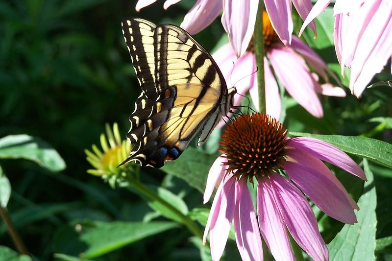7-05 Pale Tiger Swallowtail