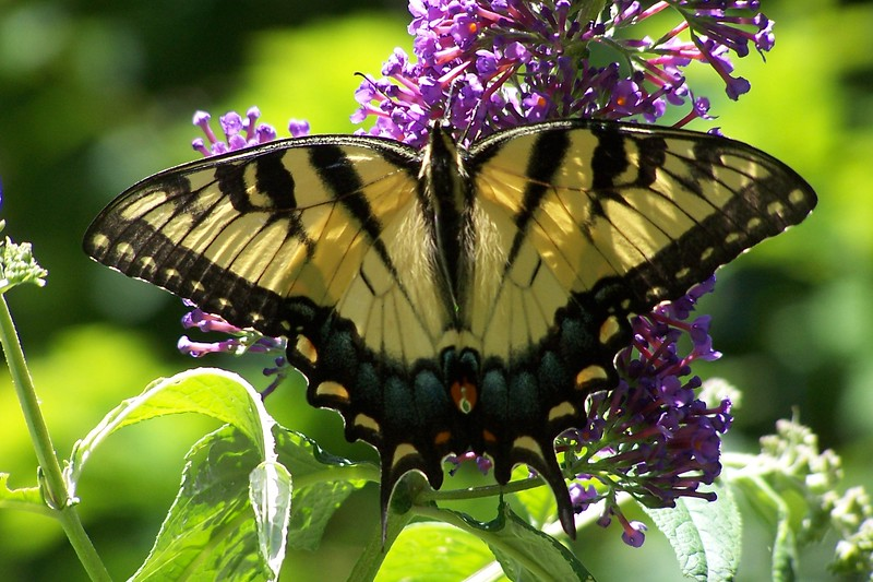 7-05 Tiger Swallowtail