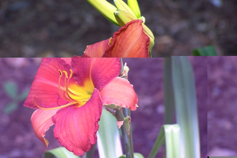 First Bloom 7-05 Margaret Daylily