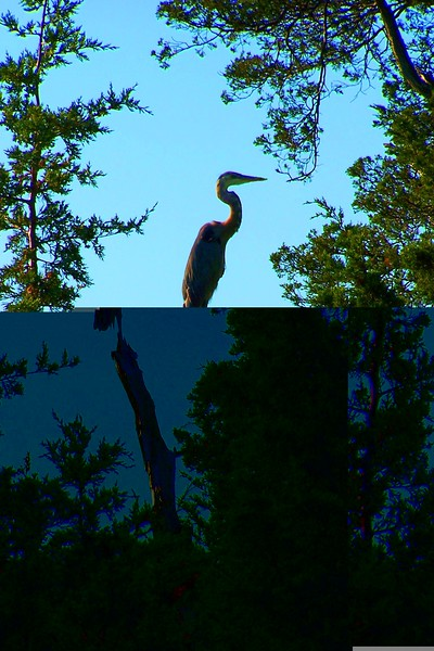 Blue Heron - 8/25/05 West Meadow Beach AF