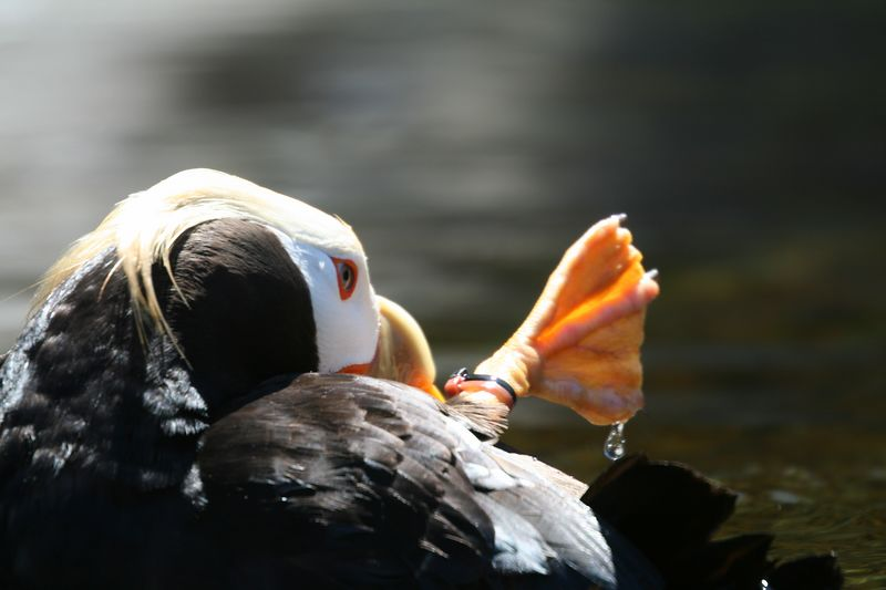 Tufted Puffin4