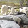 mountain goats cleaning our boots of any remaining salt