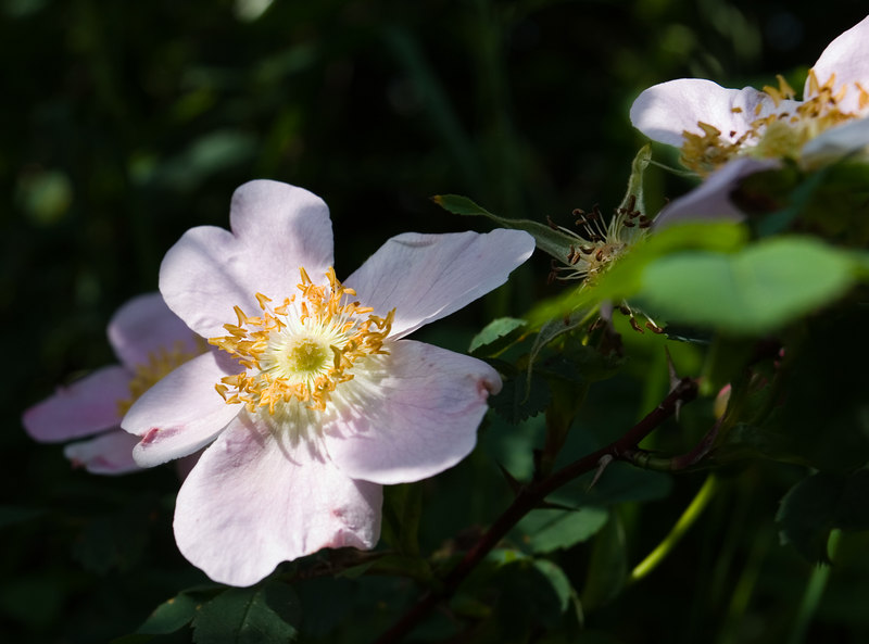 Rosa Rugosa, a wild rose familiar from Cape Cod. (Isabel took this one.)