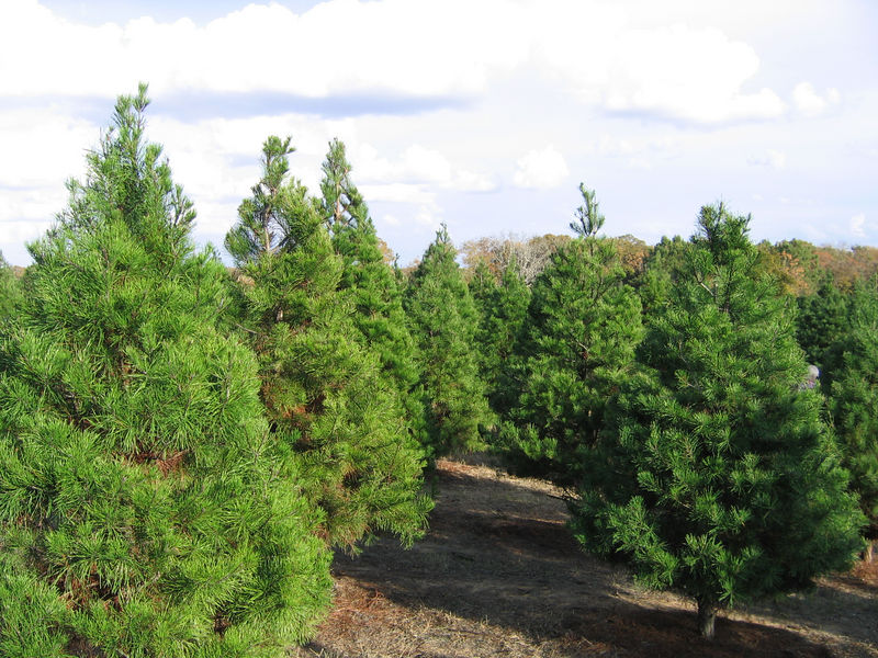 We headed about 30 mintues east of Austin to Elign.  They have a lovely Christmas tree farm.