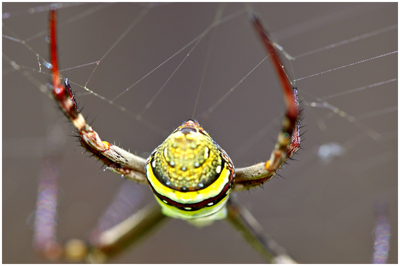 Thursday December 15th 2005. <br /> <br /> St. Andrews Cross Spider. <br /> <br /> Working on its web, this spider is named for the way it sits in the middle of the web forming a cross. It is harmless to humans and considered beneficial as its large web is a great mosquito catcher. It is however easy to walk into one of these webs as they are hard to spot and can cover a very large area. These spiders are a common inhabitant of most gardens throughout Australia. <br /> <br /> EXIF DATA <br /> Canon 1D Mk II. EF 100mm Macro f/2.8 1/40s f/5 ISO 160.