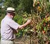 Grandpa Edmund picking tomatoes in the garden