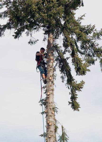 Trimming a tall tree.