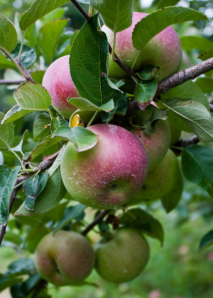 Apples all ripe on the tree
