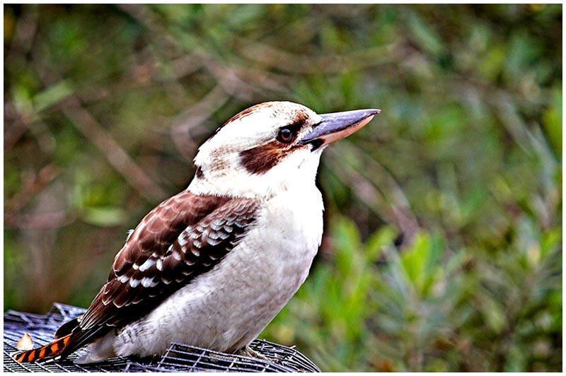 Birchgrove Park, Birchgrove. Sunday, July 31st 2005. <br /> <br /> The Laughing Kookaburra is the largest member of the kingfisher family. The chuckling voice that gives this species its name is a common and familiar sound throughout  the eastern states of Australia. The loud 'koo-koo-koo-koo-koo-kaa-kaa-kaa' is often sung in a chorus with other individuals. These birds are often quite tame in suburban areas and will occasionally accept food from your hand. <br /> <br /> EXIF DATA <br /> Canon 1D Mk II. EF 70-200 f/2.8L USM @200mm. 1/125s f/4. Shutter Priority. ISO 200.