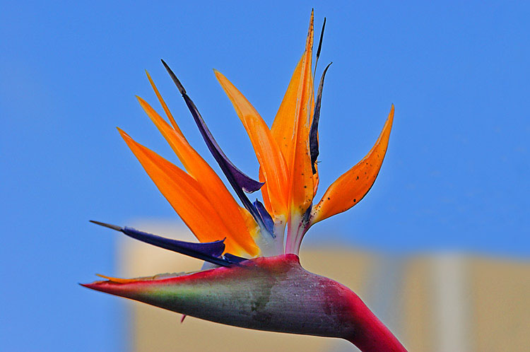 Bird of Paradise, Mort Bay Park, Balmain, Monday 13.15 July 11th 2005. <br /> <br /> The Bird of Paradise (Strelitzia Reginae) is a marvellous combination of distinctive shape and brilliant colours when in flower. A native of South Africa, it can be found in parks and gardens across Sydney. <br /> <br /> EXIF DATA <br /> Canon 1D Mk II. EF 70-200 f/2.8L USM @170mm. 1/300s f/5.6. Aperture Priority. ISO 200.