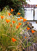 Poppies on Bainbridge Island.