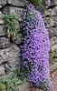 A cascade of purple flowers.