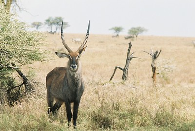 Waterbuck stag.  This is where the buck stops. Sgti  --Stuart Altmann