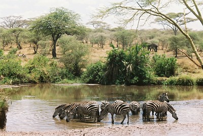 Zebra drinking from stream.  Sgti  --Stuart Altmann