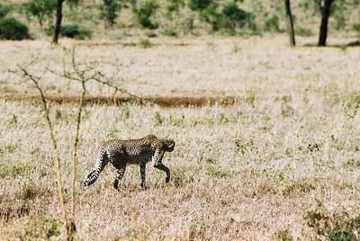 Cheetah, stalking.  Sgti  --Stuart Altmann