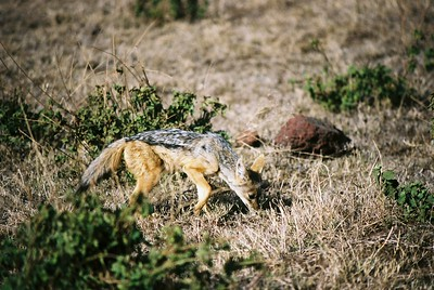 Black-backed jackal.  Ngo  --Stuart Altmann