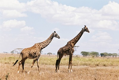 Giraffes, female (l, pregnant?) and male (r, not pregnant).  Sgti  --Stuart altmann
