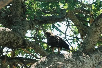 Tawny eagle in Kigelia tree.  Sgti  --Stuart Altmann