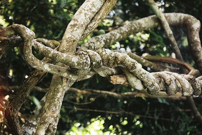 Vine in Mt. Meru forest  --Stuart Altmann