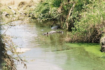 Hippos, Sgti  --Stuart Altmann