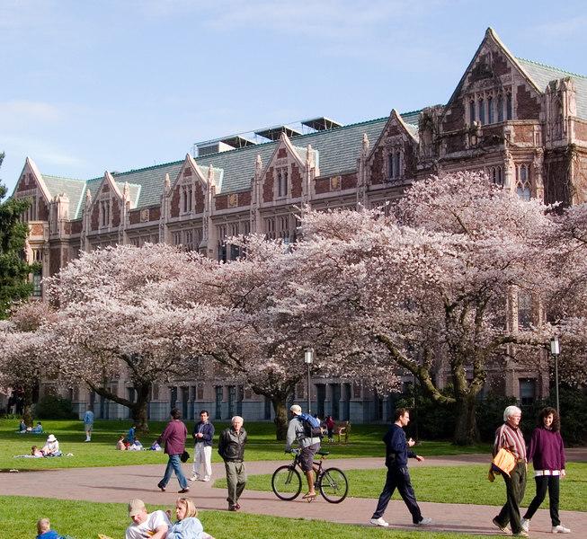 Japanese cherry trees in the UW quad.