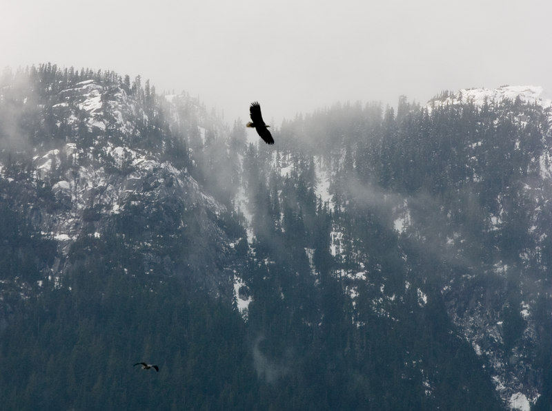 A bald eagle in flight over the Squamish River at Brackendale.