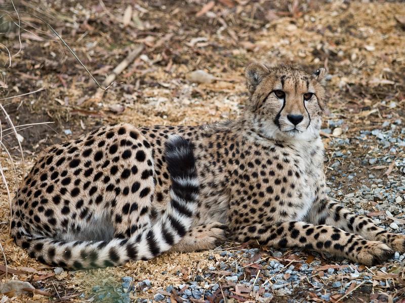 Cheetah at the National Zoo