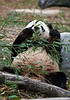 Panda munching bamboo, in a rather undignified pose