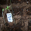 Sunday, March 25th<br /> <br /> Gardener's Delight Tomatoes, with Delicious Tomatoes above right