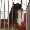 Budweiser Clydesdales : 1 gallery with 23 photos