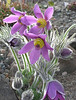 Pustilla vulgaris - Pasque Flower<br /> Medford, OR