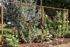 Jackson County Master Gardener Demonstration Gardens, Central Point, OR