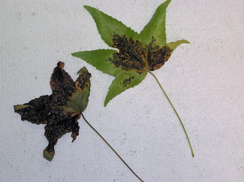Liquidamber diseased - obverse