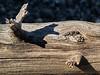 Weathered driftwood, Gull Point, Yellowstone Lake, Yellowstone National Park
