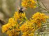Bee on rabbitbrush near Tower