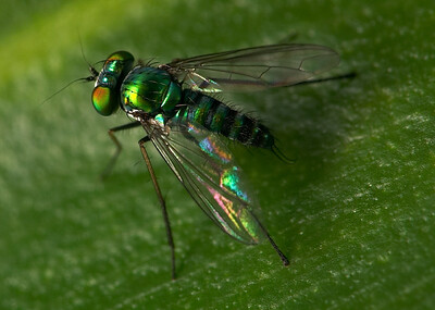 Dolichopodidae (Long-Legged Fly)