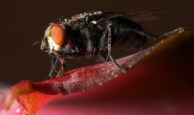 Hooverfly hoovering