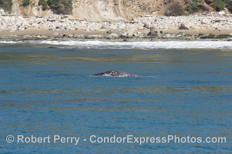 Gray whale in the surf zone
