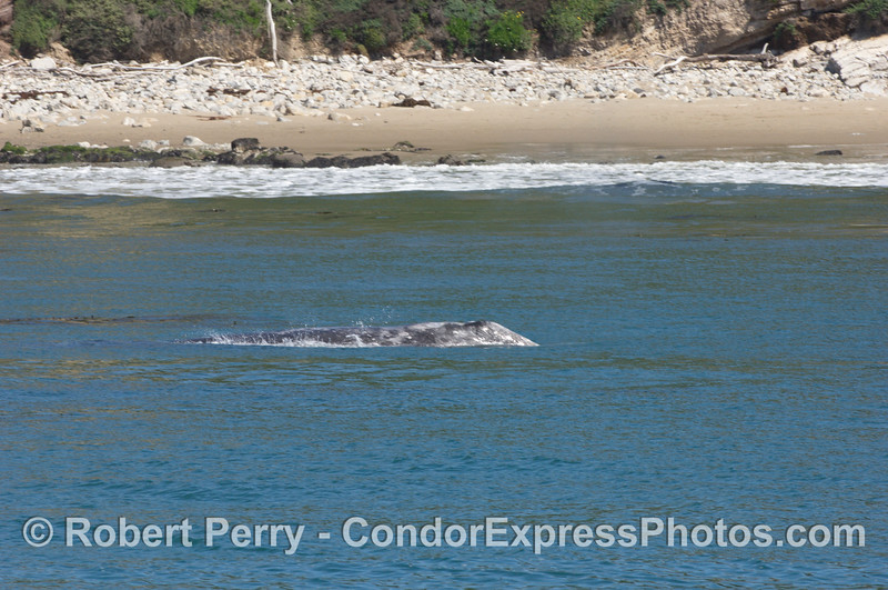 A coastal gray whale heading the wrong direction (it's northbound time)