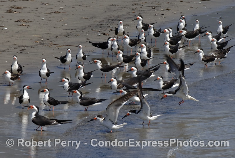 A flock of black skimmers (Rhynchops niger) - Santa Barbara Harbor